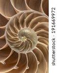 Brown Nautilus Shell This Cut...