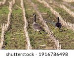 Canada Geese Eating Grass In...