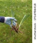 seedling plants in the hands of ... | Shutterstock . vector #1916986418