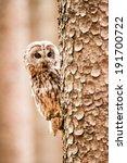 Tawny Owl Or Strix Aluco On Th...