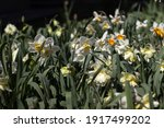 Different Types Of Daffodils...