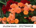 "Orange Rose Flower ""babe"" Close ..."