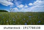 Cornflowers On A Wheat Field....