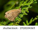 Meadow Brown Butterfly  Maniola ...