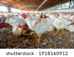Group of chickens on the farm