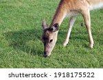 Cute Deer Eats Fresh Green...