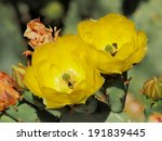 Yellow Prickly Pear Flowers And ...