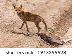 Feral Red Fox With Mange...