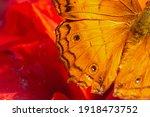 Cruiser Butterfly  Vindula...