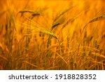 Sunny Wheat Wallpaper In Boho...