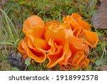 Thecasporous Fungus  Ascomycete ...