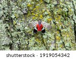 Spotted Lanternfly  Lycorma...
