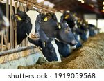 Group Of Milk Cows Standing In Livestock Stall And Eating Hay At Dairy Farm
