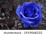 Most Beautiful Blue Velvet Rose ...