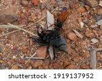 Tarantula Hawk Spider Attack ...