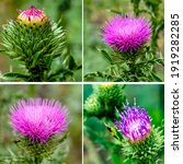 Beautiful Bright Thistle Flower ...