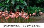Flock Of Pink Caribbean...