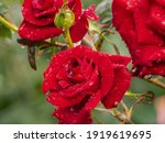 Red Roses Are Covered With...