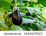 Small photo of Many eggplants in greenhouse with high technology farming. Aubergine eggplant plants in plantation. Agricultural Greenhouse with Aubergine vegetables