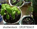 green basil in flower pot. top... | Shutterstock . vector #1919732615