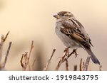 Sparrow Bird Perched On Tree...