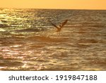Pelican Flying At Sunset Over...