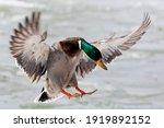 Bird. Mallard Duck  Drake  In...