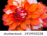 Orange White Bicolored Dahlia...