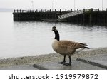 Canadian Goose Poses On The...