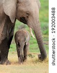 Stock photo african elephant loxodonta africana cow with young calf amboseli national park kenya 192003488