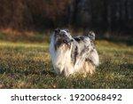 Dog Shetland Shepherd Walking...