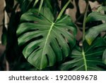 Monstera Leaves In Home...