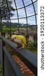 Friendly Yellow Sun Conure  A...