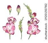 pink freesia  watercolor flower ... | Shutterstock . vector #1920150782