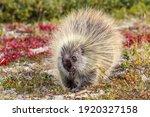 Porcupine Are Common In Denali...