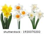 Narcissus Spring Flower Set...