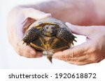 Young Russian Tortoise Is Being ...
