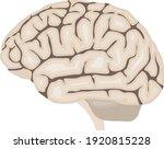 human brain. realistic human...   Shutterstock .eps vector #1920815228