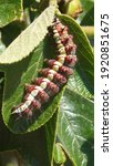 Gulf Fritillary Caterpillar On...
