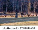 Wild Male Turkey Strutting His...