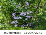 Large Lavender Blue Flowers...