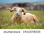 sheep with twisted horns  ... | Shutterstock . vector #1921078535
