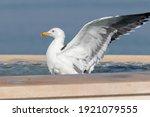 Lesser Black Backed Gull  Larus ...