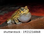 Male olive toad (Amietophrynus garmani) calling during the night, South Africa