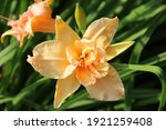 A Large Daylily Flower. Terry...