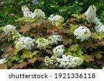 Beautiful White Oakleaf...
