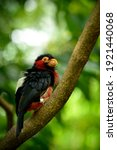 the bearded barbet  lybius... | Shutterstock . vector #1921440068