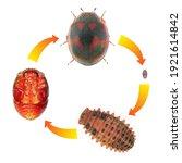 Ladybug  Ladybird   Rodolia...