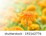 orange zinnia flowers background | Shutterstock . vector #192162776