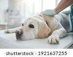 Close Up Of White Labrador Dog...